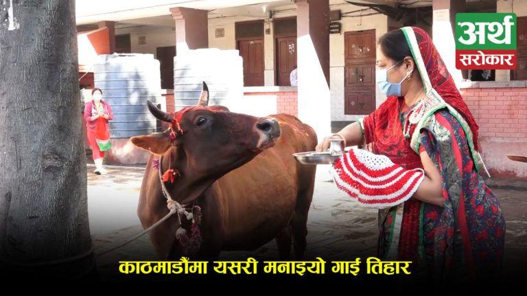 काठमाडौँमा यसरी मनाइयो गाई तिहार ! (भिडियो रिपोर्ट)