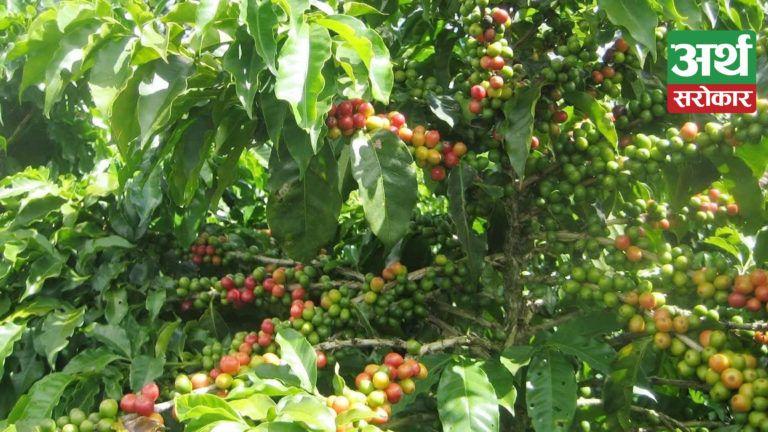 कफी खेतीमा युवा पुस्ताको आकर्षण, १० हजार किलोग्रामसम्म कफी उत्पादन हुने किसानको दाबी