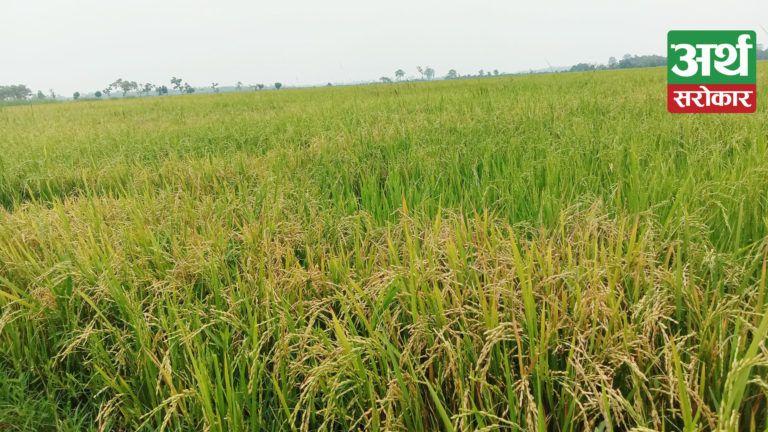 चैते धानले किसानका खेत पहेँलै, भित्र्याउन नपाउँदा समस्यामा