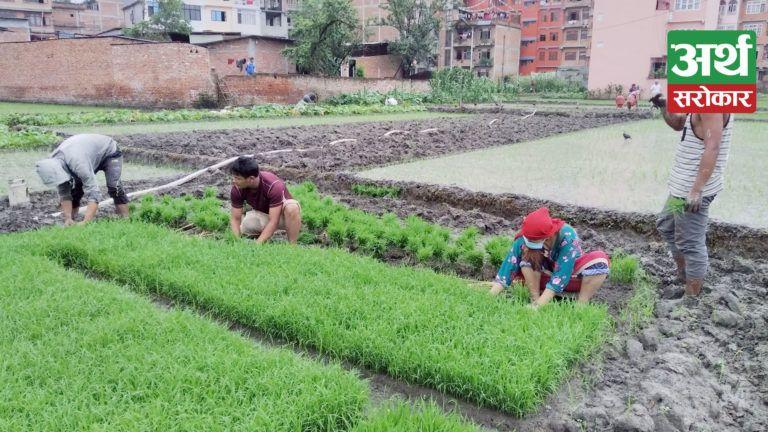 रोपाइँ सुरु भईसक्दा पनि रासायनिक मलको अभाव, समयमै कहिले पनि मल नपाउने भन्दै किसान बने आक्रोशित