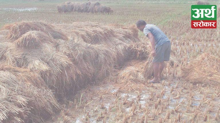 बेमौसमी पानीको बितण्डा : काटेर सुकाउन राखेको धान खेतमै उम्रियो, लागत खर्च नउठ्दा किसान निराश