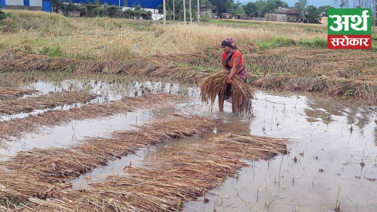 कात्तिके झरीले किसानको बिजोग : ७ अर्ब २२ करोडको धानबाली क्षति, लुम्बिनी प्रदेशमा मात्रै साढे ४ अर्ब